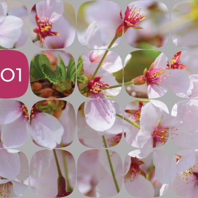 Odelo : Cherry Blossom